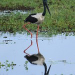 A jabiru, one of the bazillions of stunning creates youll see in Kakadu